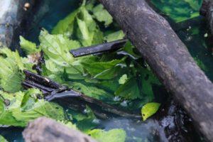 Fermenting Indigo leaves